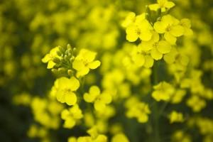 Flor de Canola