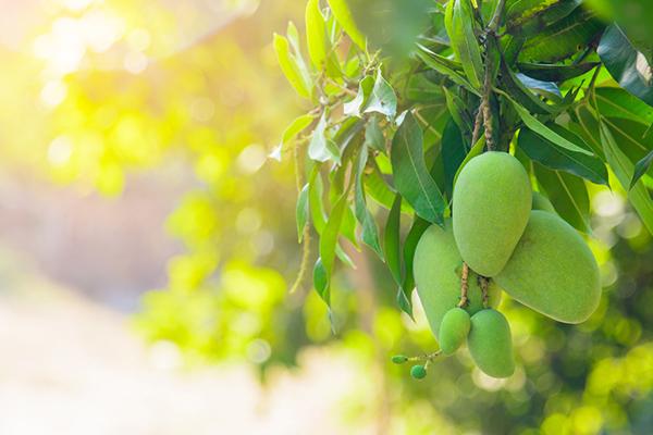 Cultivo del mango