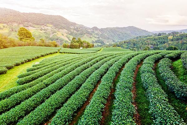 Plantío de té