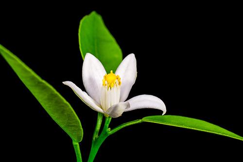 flor-de-azahar-pan-de-muerto