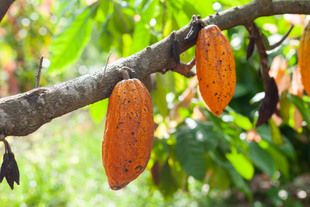 cacao-grijalva